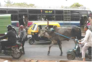 cow_bangalore_traffic